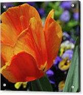Beautiful Blooming Orange And Red Tulip Flower Blossom Acrylic Print