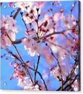 Beautiful Blossoms Blooming  For Spring In Georgia Acrylic Print