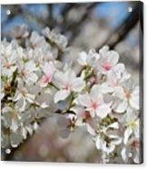Beautiful Blossoms Acrylic Print