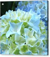 Beautiful Blue Hydrangea Floral Art Prints Creamy White Pastel Acrylic Print