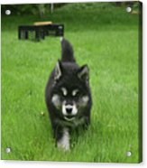 Beautiful Bold Two Month Old Alusky Puppy Dog Acrylic Print