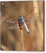 Beautiful Broken Wing Acrylic Print