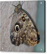 Beautiful Brown Morpho Butterfly Resting In A Butterfly Garden  Acrylic Print