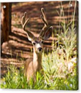 Beautiful Buck Deer In The Pike National Forest Acrylic Print