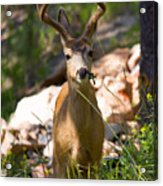 Beautiful Buck In The Pike National Forest Acrylic Print