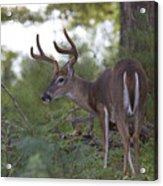 Beautiful Buck In Velvet Acrylic Print