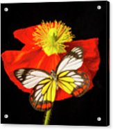 Beautiful Butterfly On Poppy Acrylic Print