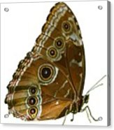 Beautiful Butterfly Wings Of Meadow Brown Isolated Acrylic Print