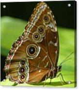 Beautiful Butterfly Wings Of Meadow Brown Acrylic Print