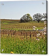 Beautiful California Vineyard Framed With Flowers Acrylic Print