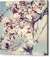 Beautiful Cherry Tree Blossom Acrylic Print
