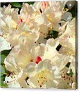 Beautiful Creamy White Pink Rhodies Floral Garden Baslee Troutman Acrylic Print