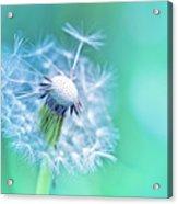 Beautiful Dandelion Acrylic Print