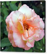 Beautiful Delicate Pink Rose On Green Leaves Background. Acrylic Print