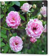 Beautiful Delicate Pink Roses On Green Leaves Background. Acrylic Print
