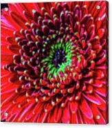 Beautiful Details Of Gerbera Daisy Acrylic Print