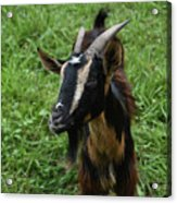 Beautiful Face Of A Billy Goat With Tan And Black Silky Fur Acrylic Print