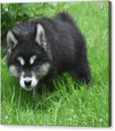 Beautiful Face Of A Black And White Alusky Puppy Acrylic Print