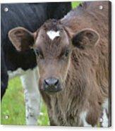 Beautiful Face Of A Brown Calf Acrylic Print