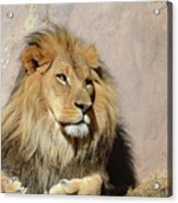 Beautiful Face Of A Lion In The Warm Sunshine Acrylic Print