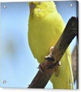 Beautiful Face Of A Yellow Budgie Bird Acrylic Print