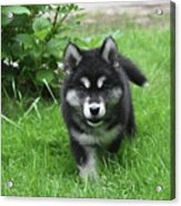 Beautiful Face Of An Alusky Puppy Dog In Thick Green Grass Acrylic Print