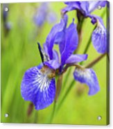 Beautiful Flower Iris Acrylic Print