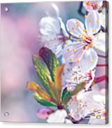 Beautiful Fruit Tree Blooming Acrylic Print