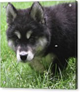 Beautiful Furry Black And White Alusky Only Two Months Old  Acrylic Print