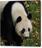 Beautiful Giant Panda Bear Walking Through A Field Acrylic Print