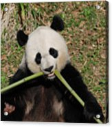 Beautiful Giant Panda Eating Bamboo From The Center Acrylic Print