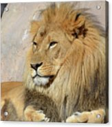 Beautiful Golden African Lion Relaxing In The Sunshine Acrylic Print