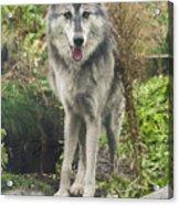 Beautiful Gray Wolf Acrylic Print