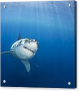 Beautiful Great White Acrylic Print