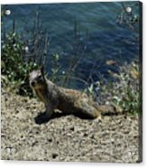 Beautiful Ground Squirrel Standing At The Edge Of The Coast Acrylic Print