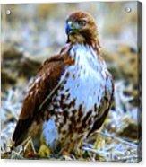Beautiful Hawk Acrylic Print