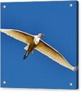 Beautiful Heron Acrylic Print