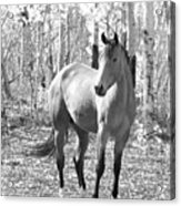 Beautiful Horse In Black And White Acrylic Print