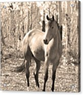 Beautiful Horse In Sepia Acrylic Print by James BO  Insogna