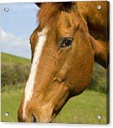 Beautiful Horse Portrait Acrylic Print by Meirion Matthias