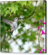 Beautiful Hummingbird Acrylic Print