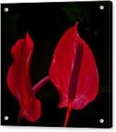 Beautiful In Red Acrylic Print
