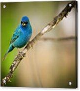 Beautiful Indigo Bird Acrylic Print