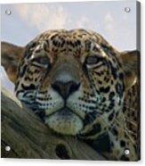 Beautiful Jaguar Acrylic Print