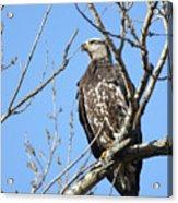 Beautiful Juvenile Eagle Acrylic Print