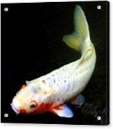 Beautiful Koi Fish Acrylic Print