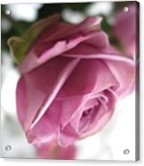 Beautiful Lavender Rose 2 Acrylic Print
