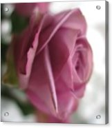Beautiful Lavender Rose 3 Acrylic Print
