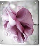 Beautiful Lavender Rose Acrylic Print