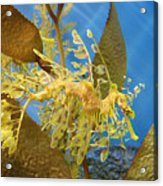 Beautiful Leafy Sea Dragon Acrylic Print by Brooke Roby